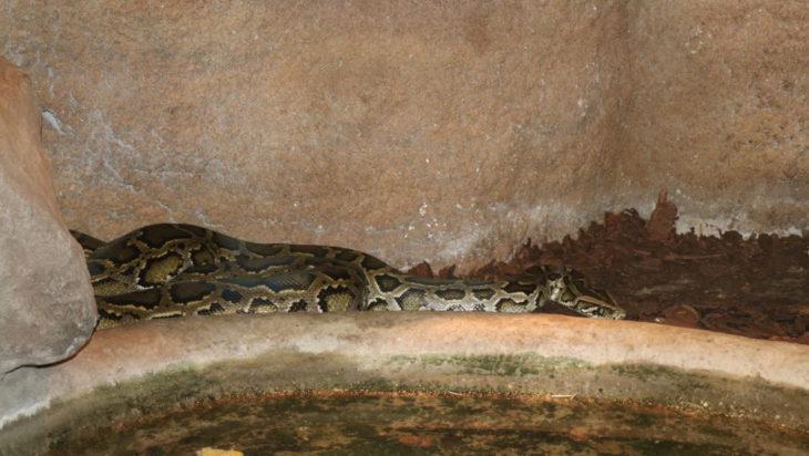 Pytony to rodzina węzy, której naliczono 41 gatunków. Na zdjęciu ze Śląskiego Zoo widzimy pytony tygrysie.