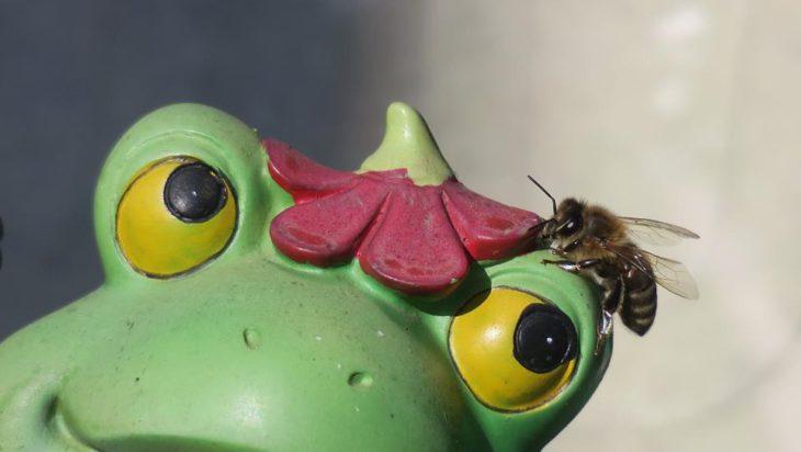 Mamy już pierwszą naiwną pszczołę w jednym z ogrodków. Kwiatek na głowie glinianej żaby wzięła za prawdziwy!