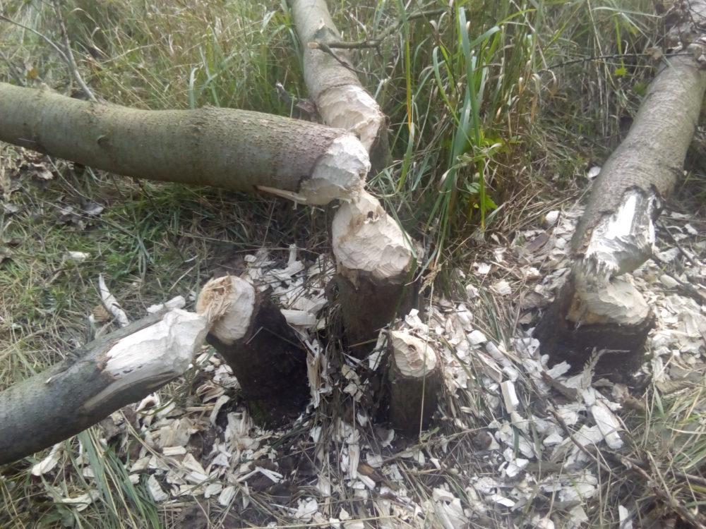bobry dorzecze brynicy