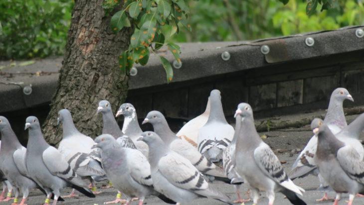 Powoli odbudowuje hodowlę gołębi.