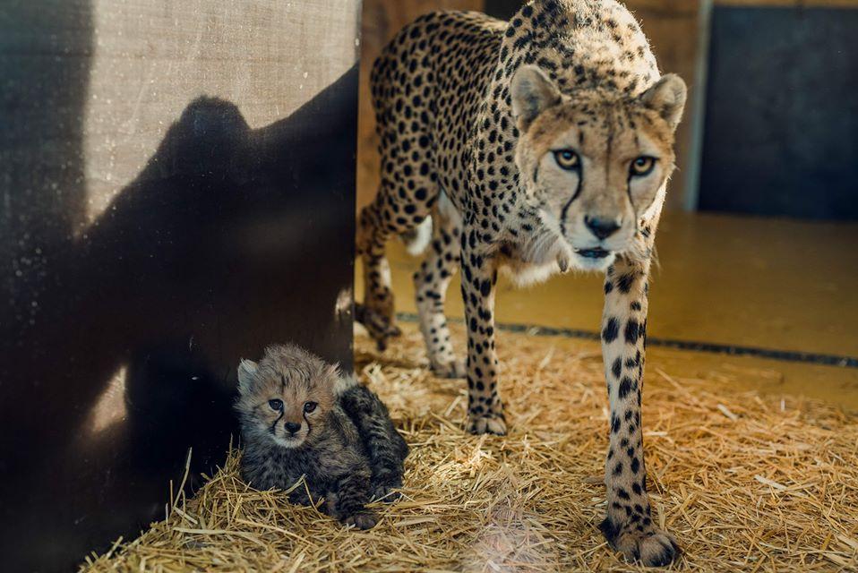 Małe gepardy wspierane przez UM Siemianowice, Śląskie ZOO