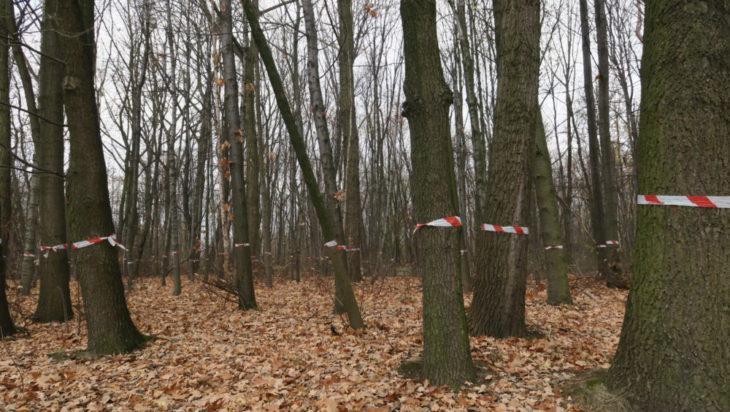 a Drzew do wycięcia jest sporo.